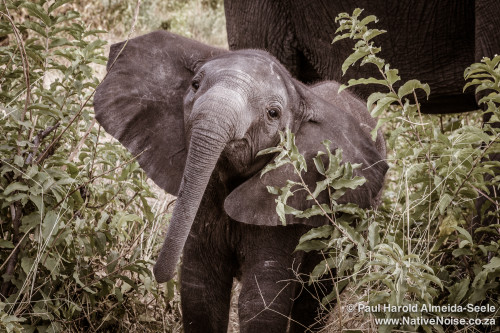 Baby Elephant In Chobe National Park, Botswana